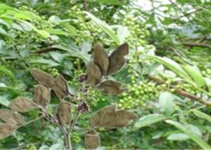 Buchu Leaf Extract