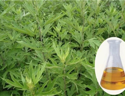 Blumea Balsamifera Essential Oil
