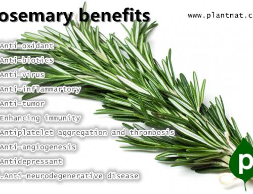 10 Impressive Benefits Of Rosemary extract