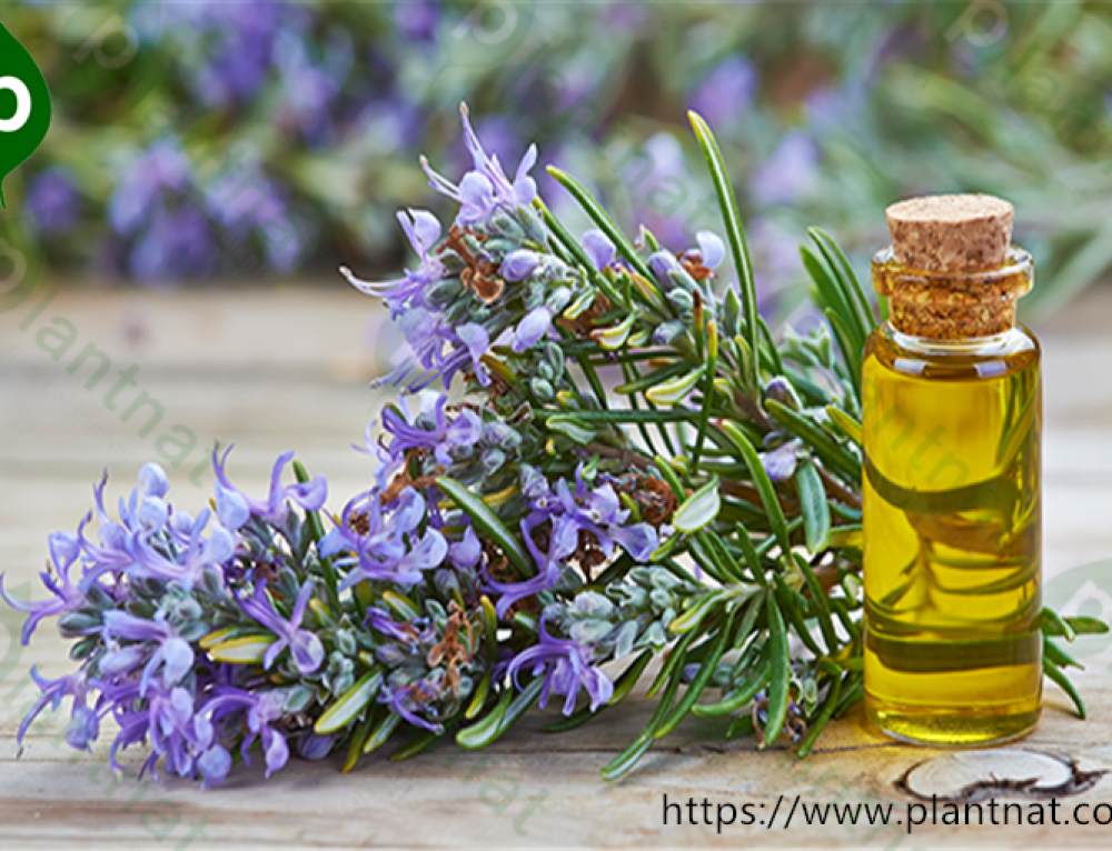 How to Use Rosemary Essential Oil for beauty care?